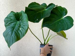 Philodendron Pastazanum 1