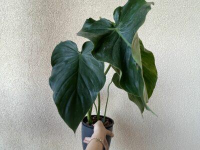 Philodendron Pastazanum 4