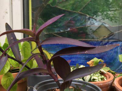 Mexikanische Dreimasterblume Tradescantia pallida Zimmerpflanze