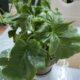 Philodendron Atom Mini Ableger