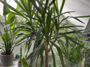 Yucca Palme, ca. 180cm, 4 große Äste