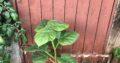 Blauglockenbaum / Paulownia tomentosa