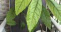 Avokado pflanzen
