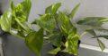 Große Efeutute Pflanze