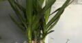 Große Yucca Palme Pflanze mit vielen Sprossen/Blättern