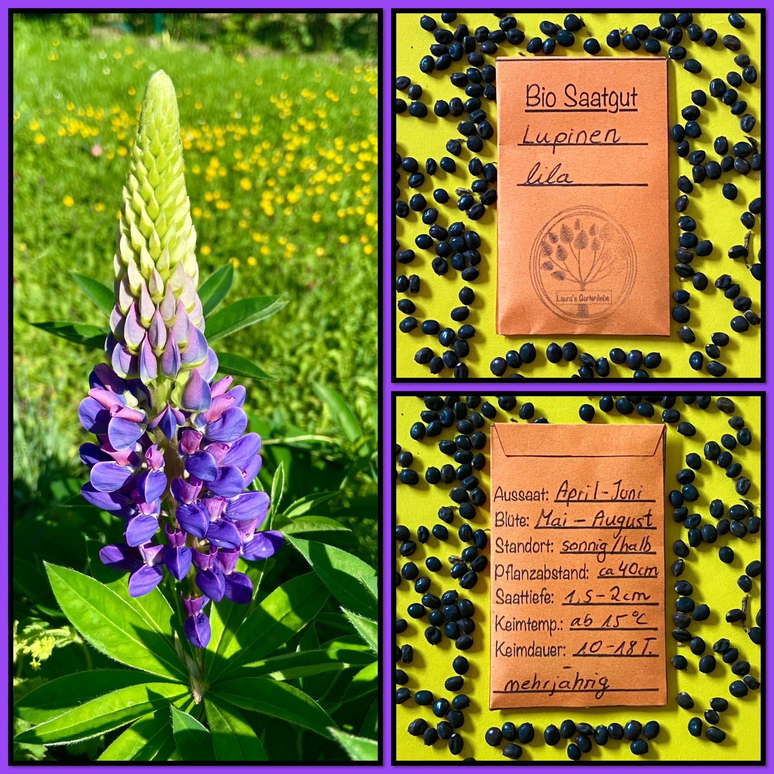 Bio-Saatgut Lupine – aus eigenem Naturgarten