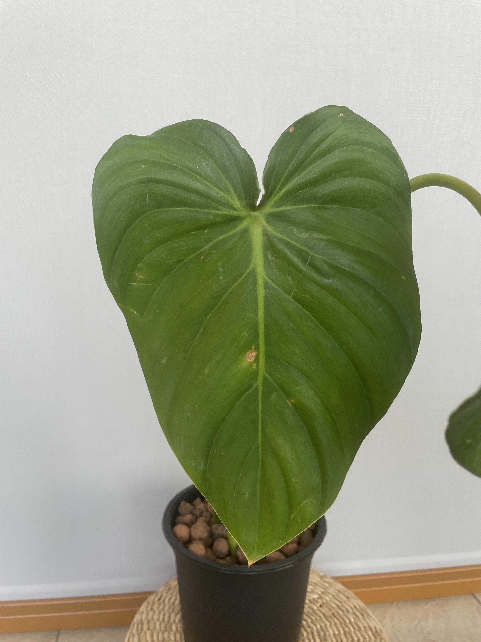 Philodendron Pastazanum 5