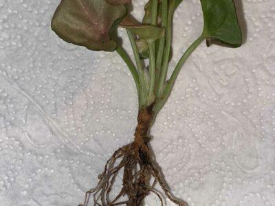 Syngonium Neon robustica Babypflanze
