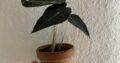 Alocasia Polly Baby