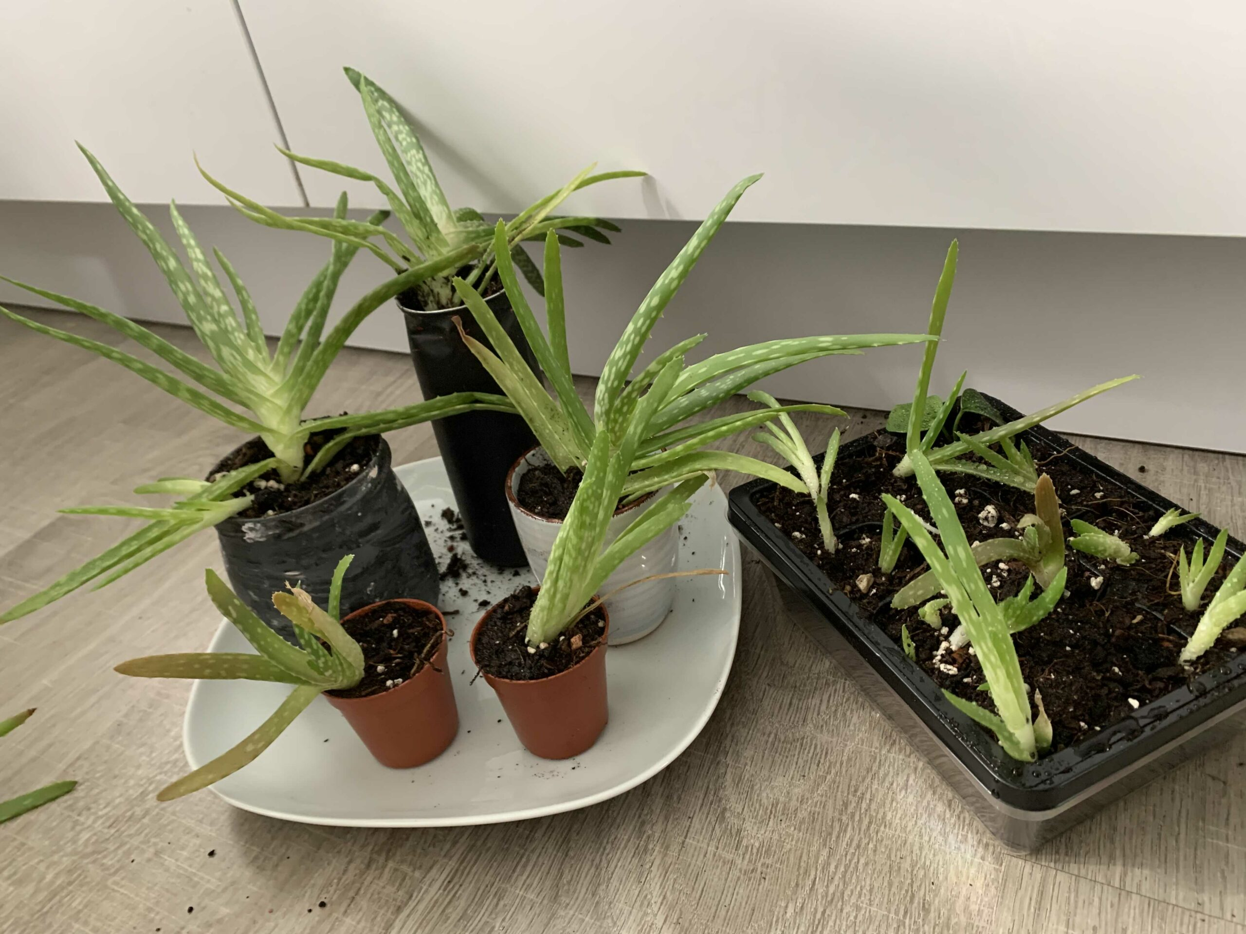 Aloe Vera Zimmerpflanze Pflanze