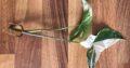 Syngonium albo variegata