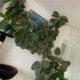 Gummibaum Kautschukbaum Kautschukpflanze groß