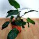 Philodendron Erubescens luftreinigend H ca. 100 cm