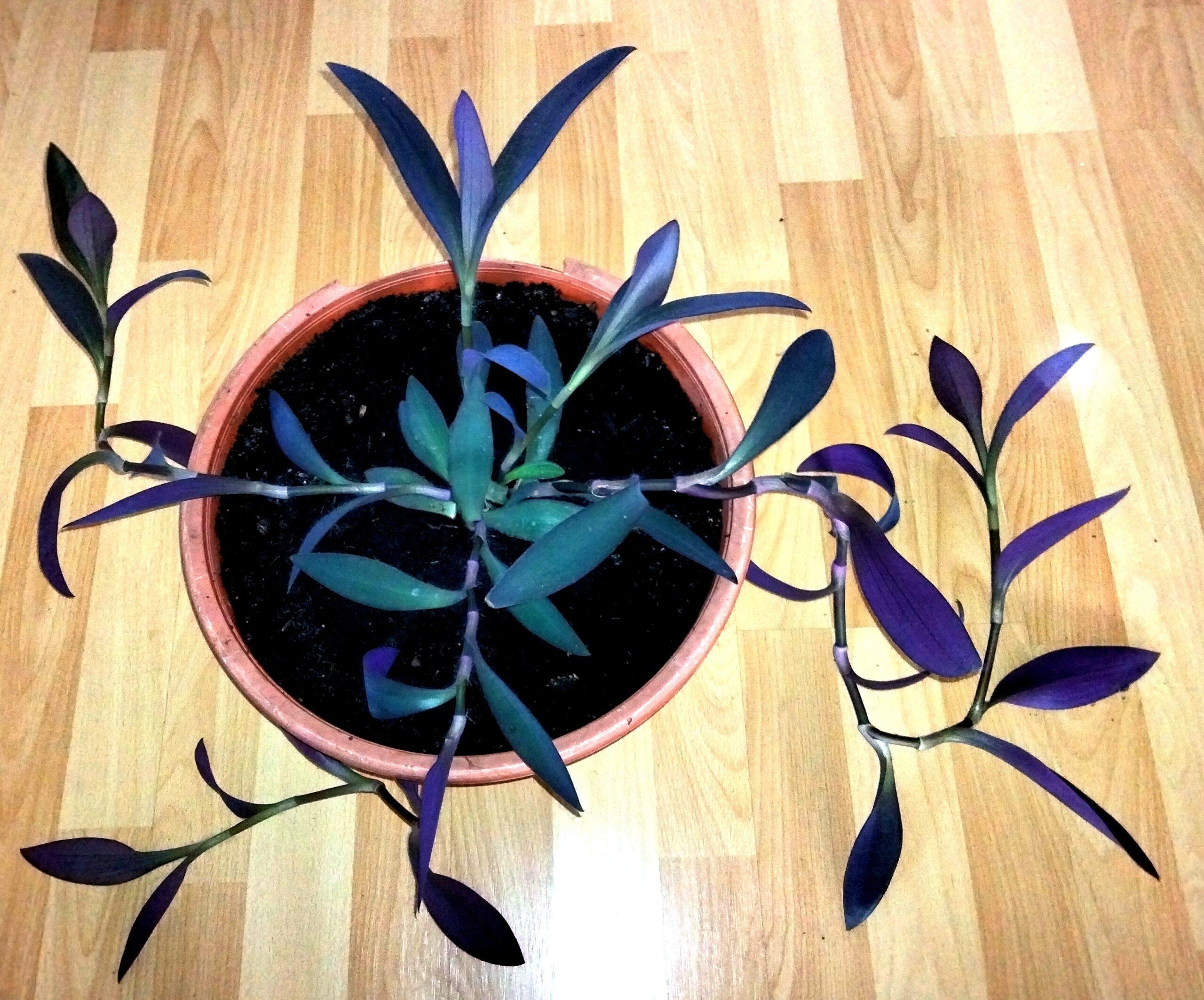 Mexikanische Dreimasterblume Zierpflanze H ca. 80 cm