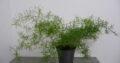 Asparagus – Zierspargel