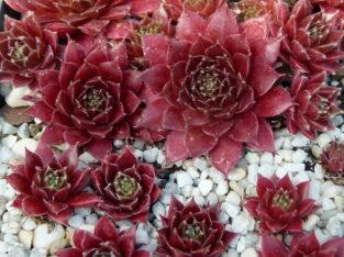 Sempervivum ca. 120 Züchtersorten: 10 Stück aus Auswahlliste