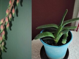 Pflanze Zimmerpflanze Gasteria Sukkulente