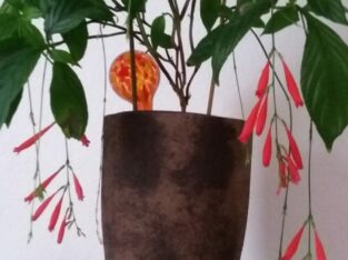 2x Roter Regen, Odontonema schomburgkianum, 140 cm
