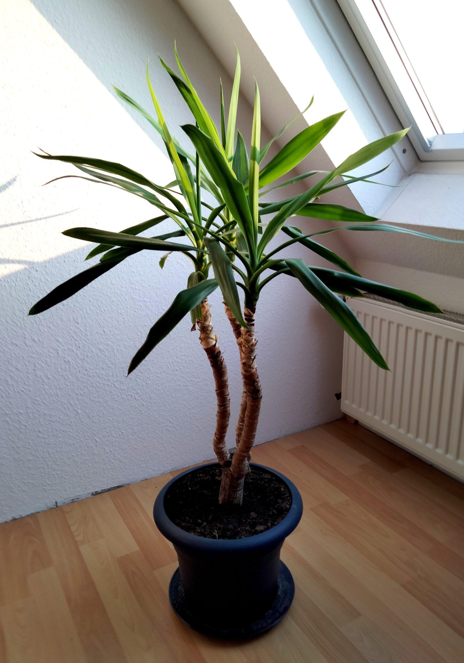 Palmlilie Yucca Palme Pflanze H ca. 140 cm