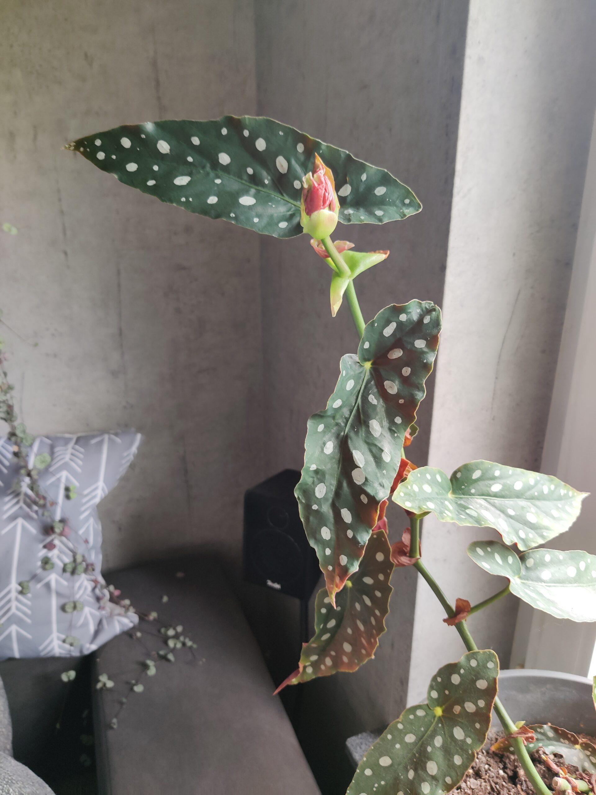 forellenbegonie Begonia maculata