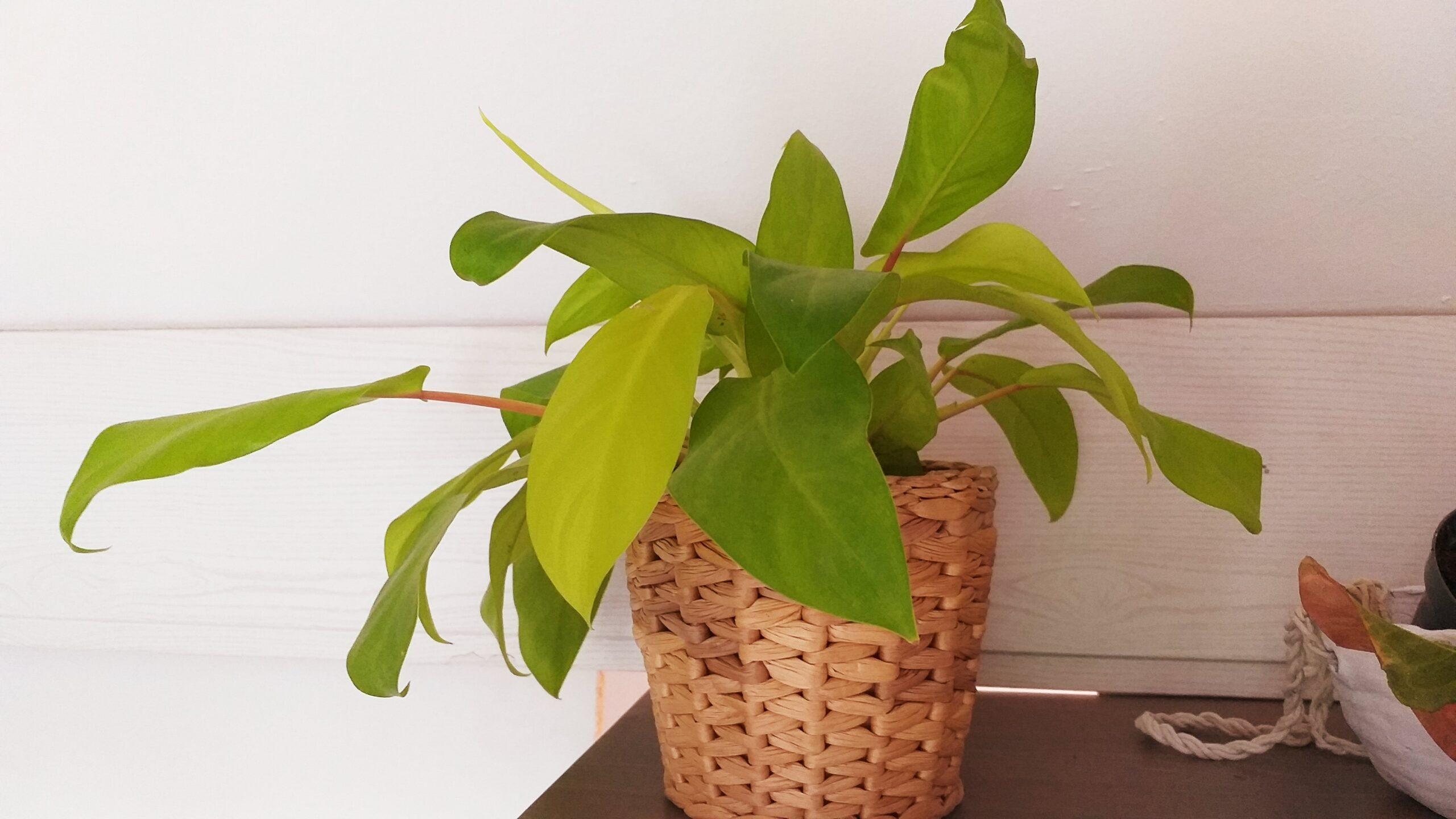 Philodendron scandens lemon lime – bewurzelter Ableger