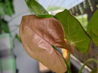 syngonium neon robusta