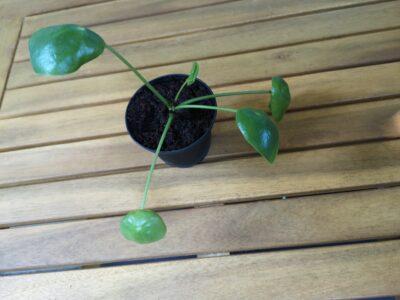 Pilea Peperomioides (Ufopflanze) – Ableger