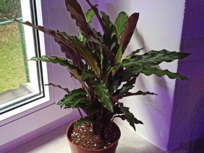 Calathea Rufibarba etablierte Pflanze