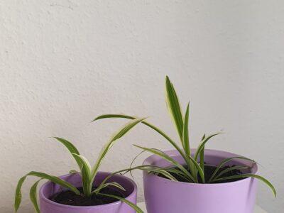 Grünlilien in lila Töpfen (+Innentöpfe)