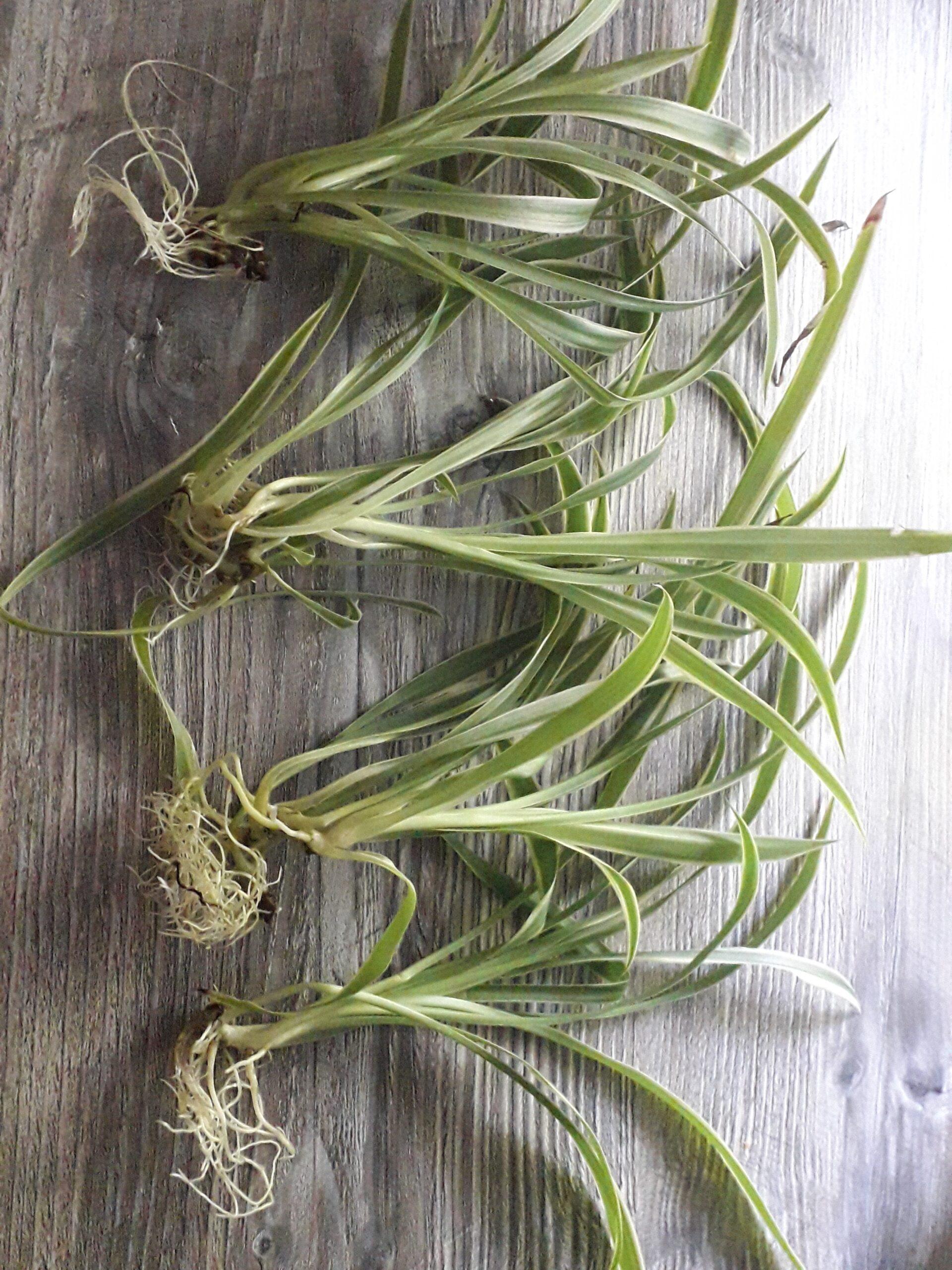 Grünlilien-Ableger grün-weiss gestreift