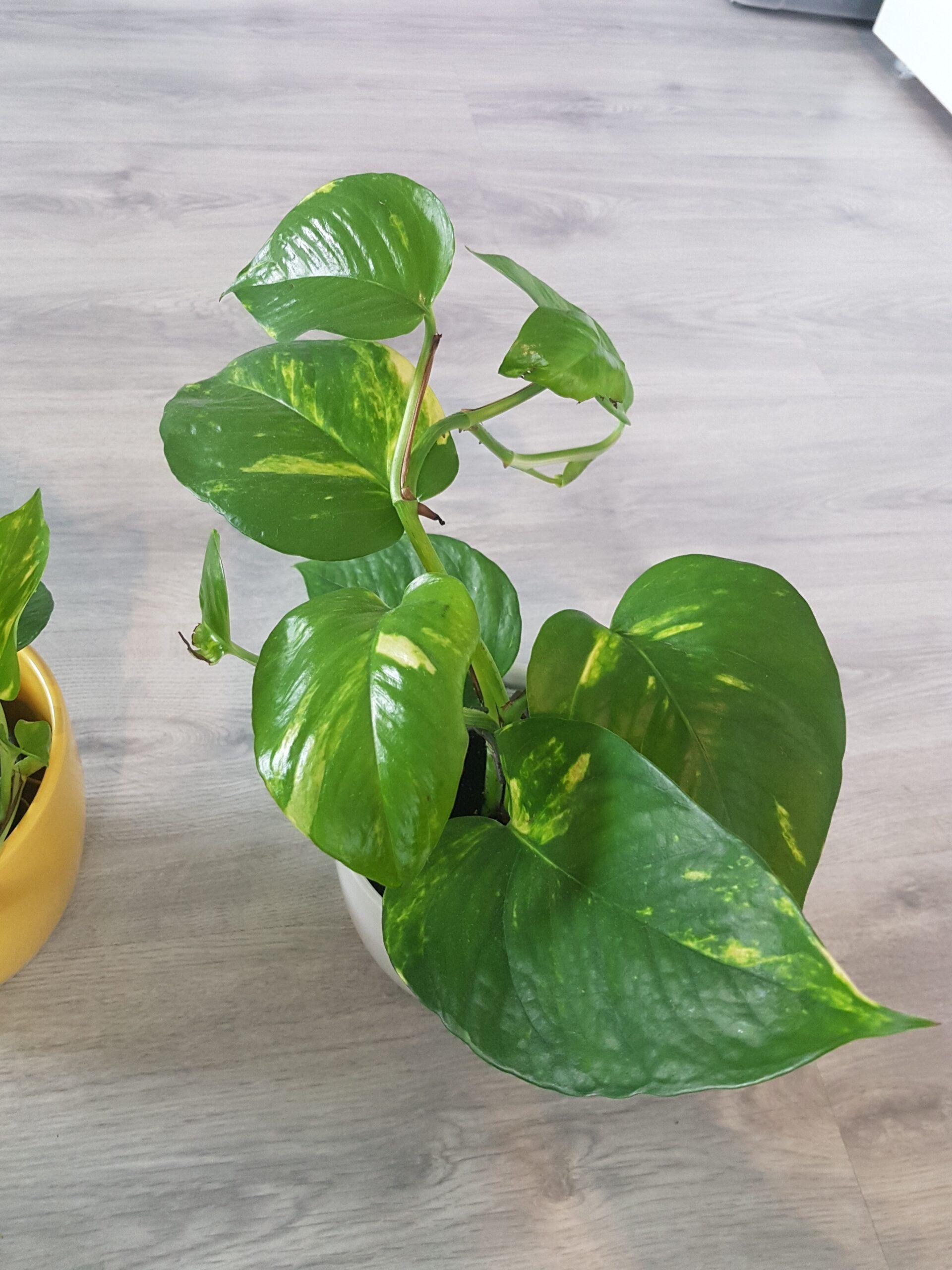 Efeutute epipremnum aureum etablierte Zimmerpflanze