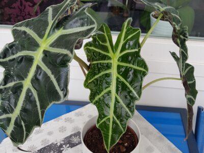Alocasia Amazonica Polly 45cm etablierte Zimmerpflanze
