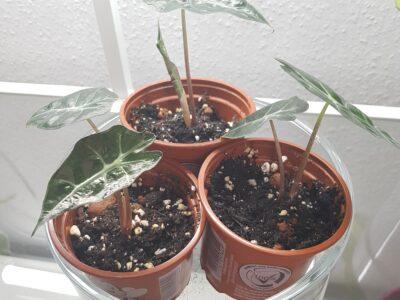 Alocasia Amazonica Polly babyplant