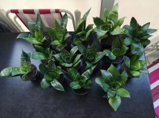 """Schöne Sansevieria Trifasciata """"Green Hanhi""""!"""