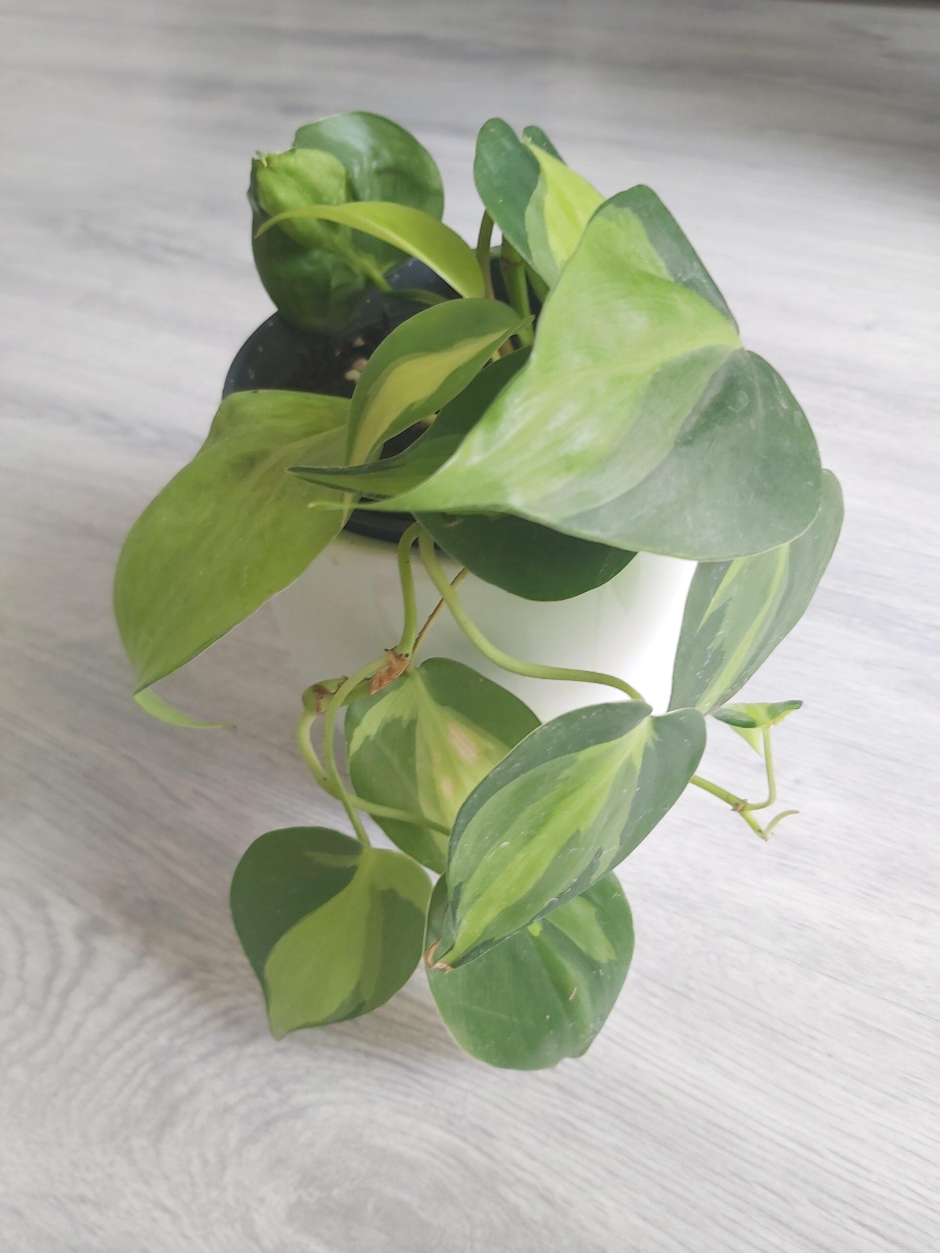 Philodendron Scandens Brasil Zimmerpflanze