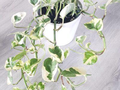 Große Efeutute epipremnum N' Joy Zimmerpflanze