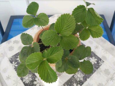 2 Erdbeer Pflanzen im Tontopf abzugeben