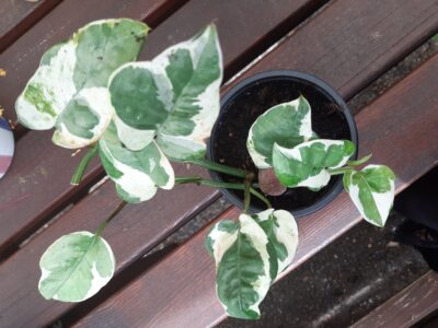 Epipremnum pinnatum N'Joy