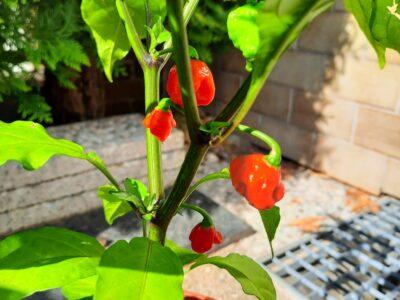 Carolina Reaper schärfste chili Paprika Peperoni extrem sehr