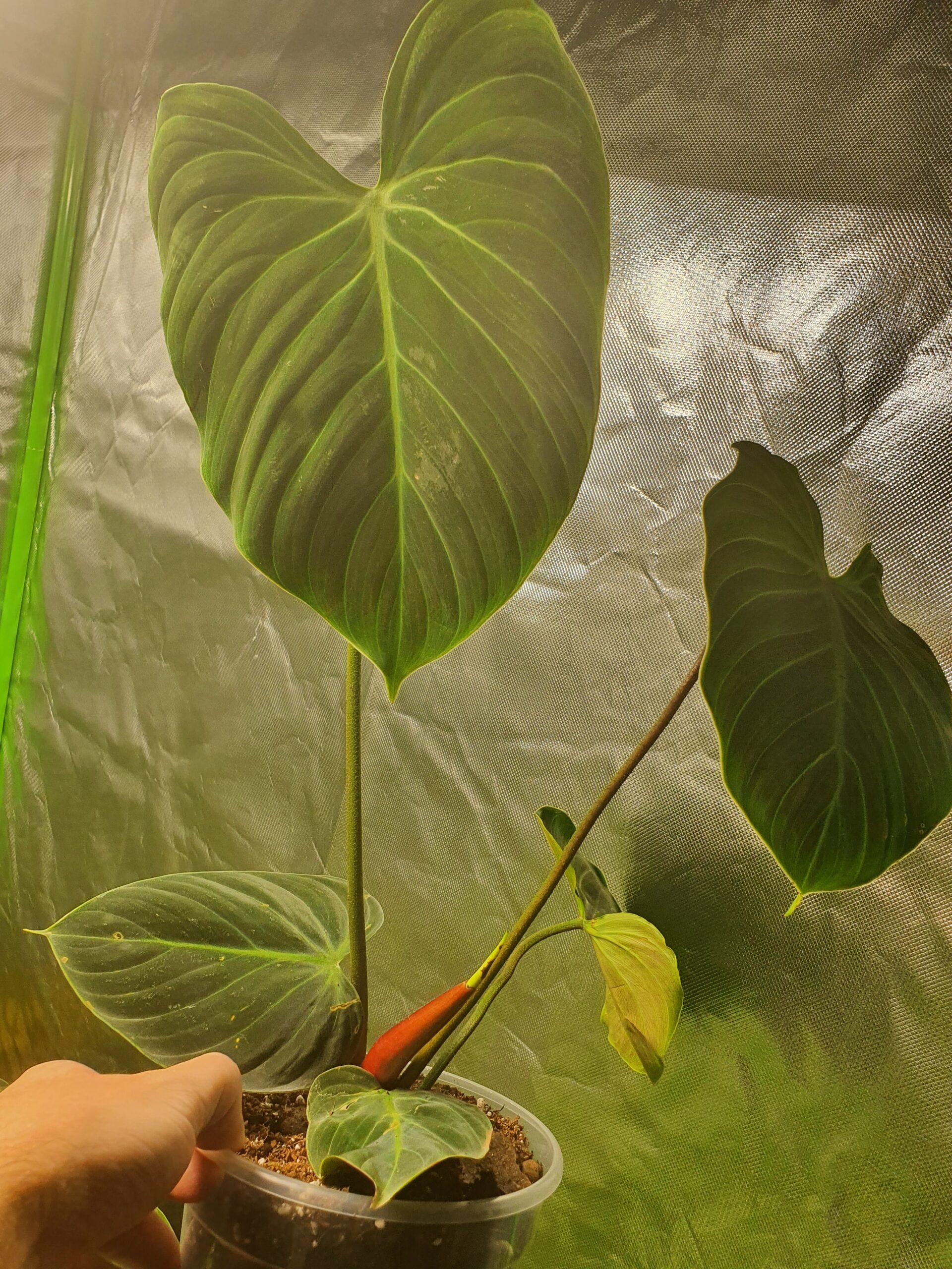 El Choco Philodendron
