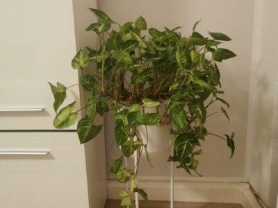 Efeu Pflanze