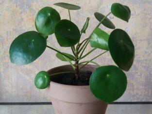 Ufopflanze  Chinesischer Glückstaler Chinesischer Geldbaum