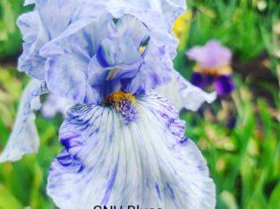 Iris Samen 🌰der Sorte GNU Blues
