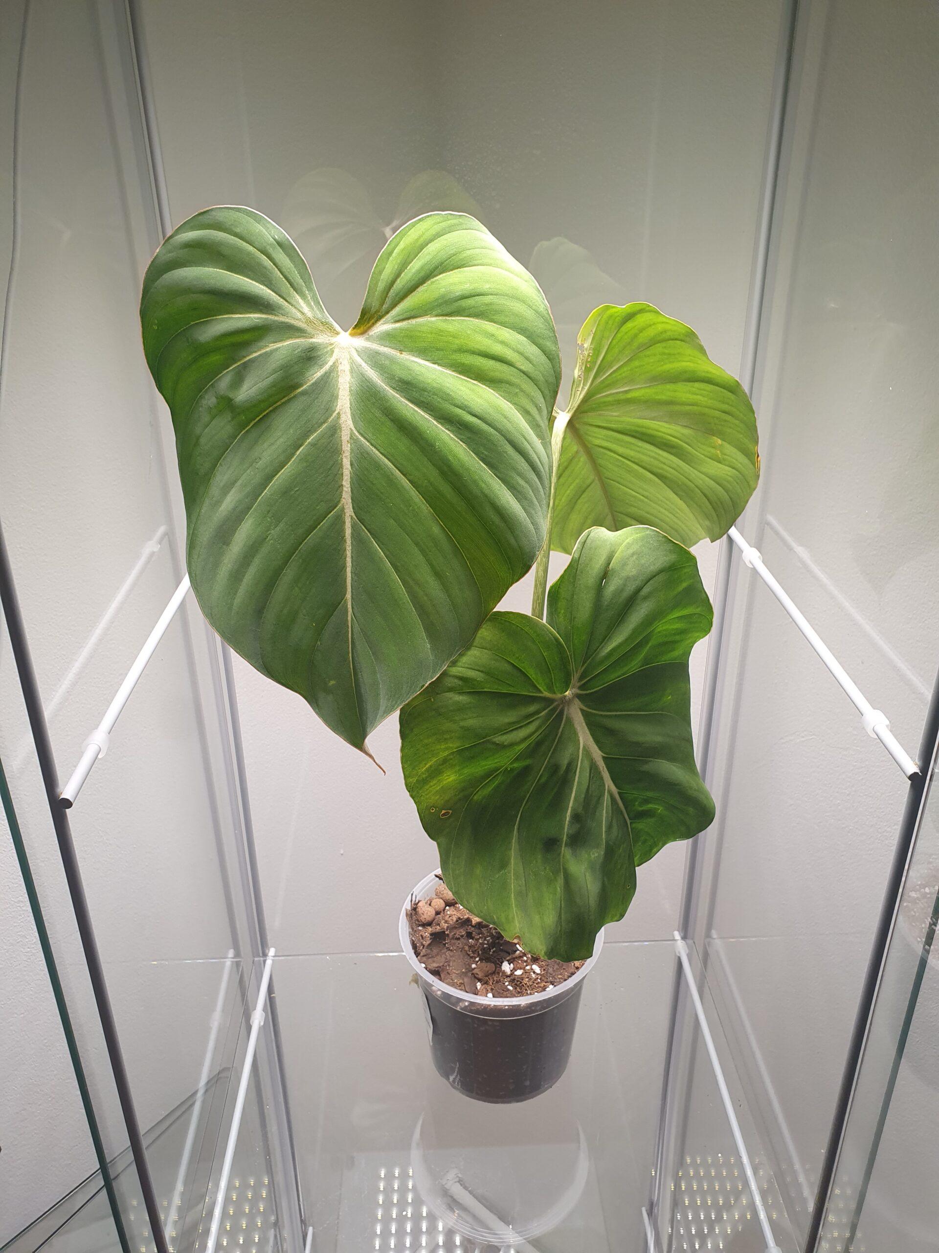 Gloriosum Philodendron