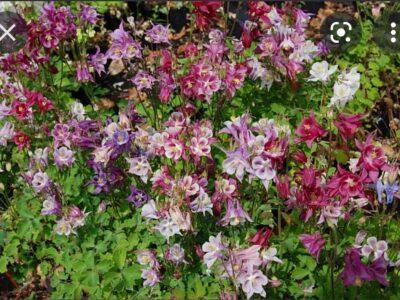 20 Samen Garten Akelei bunt