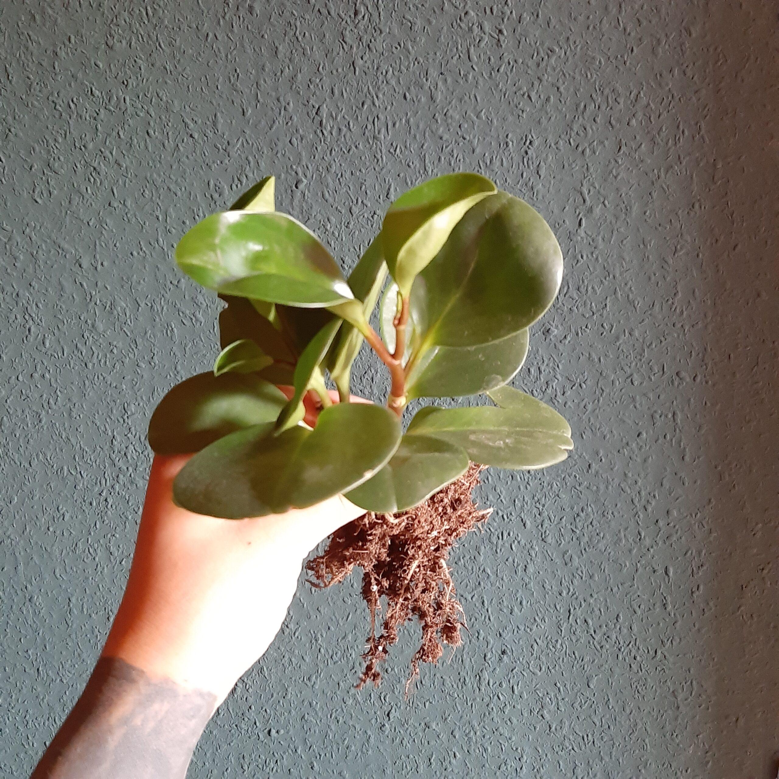 Peperomia Obtusifoila – große Ableger