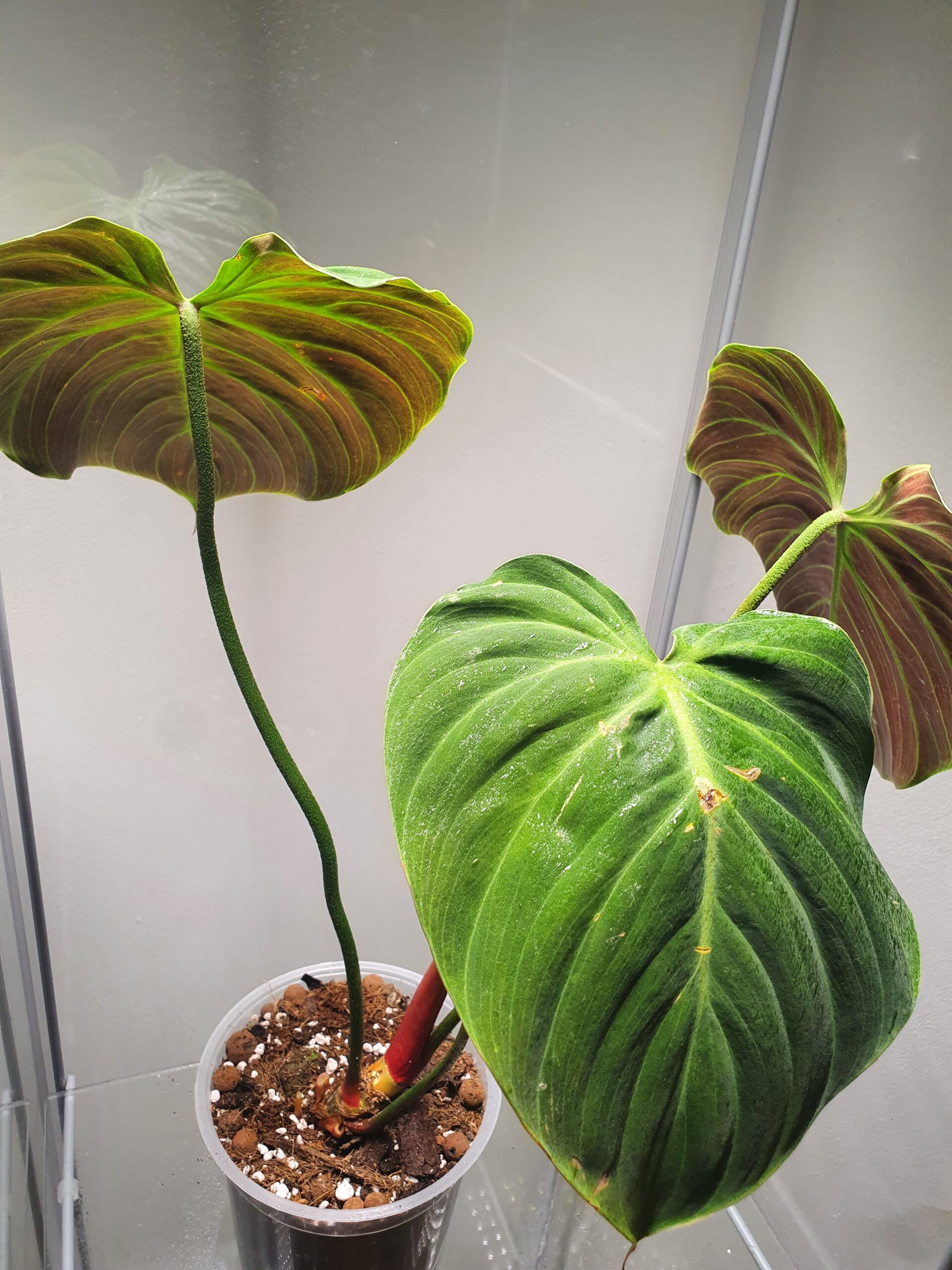 El Choco Red Philodendron