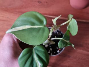 Philodendron cream splash