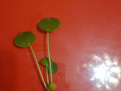 schön bewurzelte Pilea/ Ufopflanze