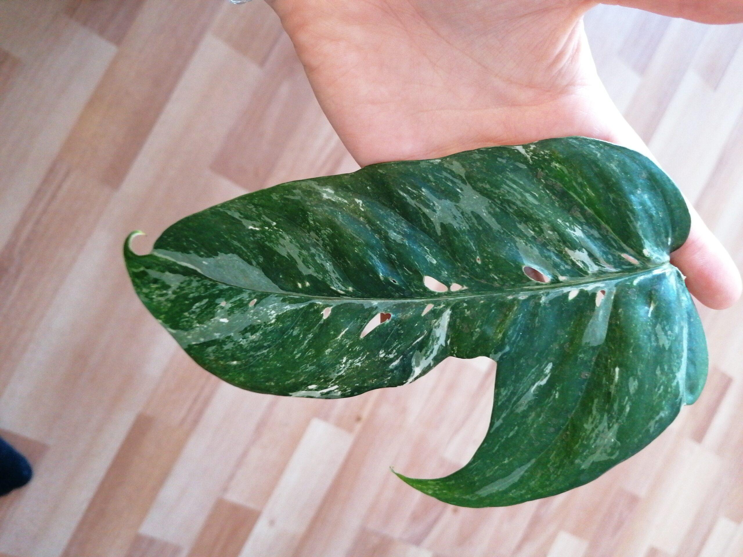 Epipremnum pinnatum variegata bewurzelter Ableger